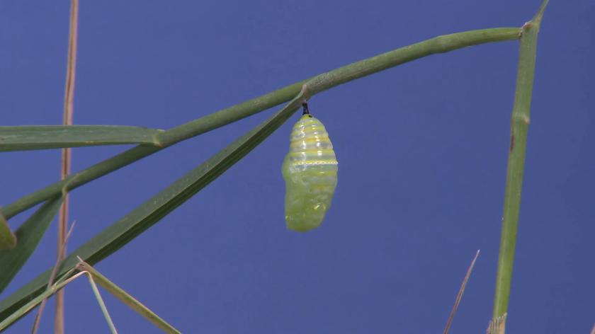 monarch-caterpillar-lone-summer-chrysalis-pupa-cocoon-indoor_n3uwt44ux__F0000